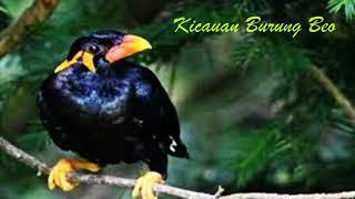 Burung Beo Nias GACOR Si Pintar Meniru Suara merdu