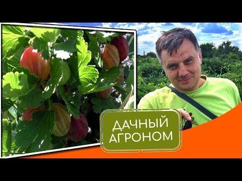 Вопрос: Чем отличается ежевика от красной и жёлтой малины?