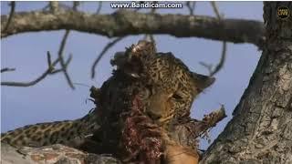 ~ Wielkie , dzikie , drapieżne koty Afryki ~   Safari