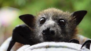 All big eyes and wiggly ears. Meet baby grey-headed flying fox, Blondie