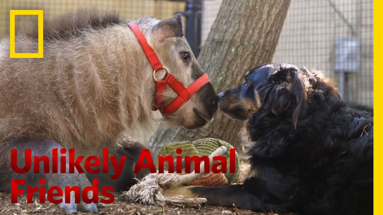 The Best Nanny Dog Unlikely Animal Friends YouTube - 15 unlikely animal friendships will melt heart