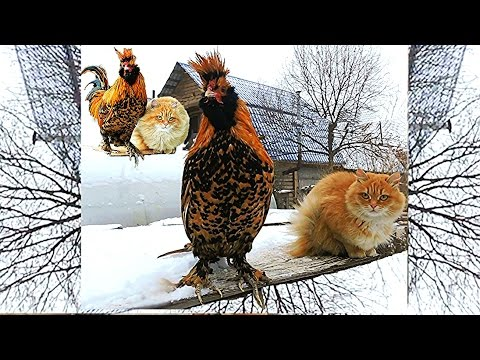 Siberian Cat Solnyshko and Pavlovskiy Rooster 24 ноября 2015 Кот и Петух