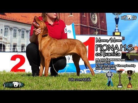 mađarska-vižla-štenci/magyar-vizsla-welpen---hungarian-vizsla-puppies-10./fiona-&-as---2018.