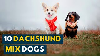 7 Of the Cutest Dachshund Mix Dogs That Are Firm Family Favorites!