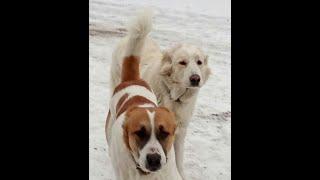 Алабаи Рокки и Рада Видео о наших любимых собаках породы алабай алабай alabai