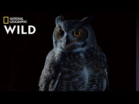 Great Horned Owl On The Hunt | Nat Geo Wild