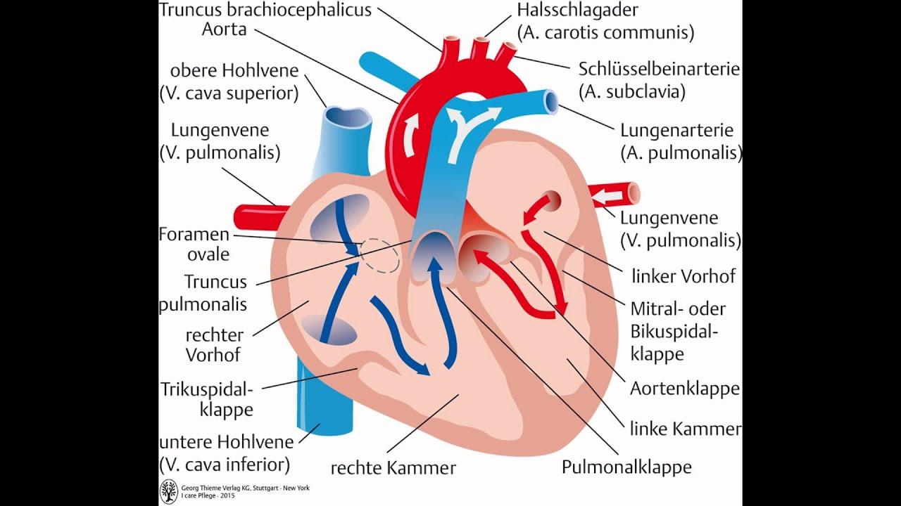 Ungewöhnlich Anatomie Herz Zeitgenössisch - Menschliche Anatomie ...