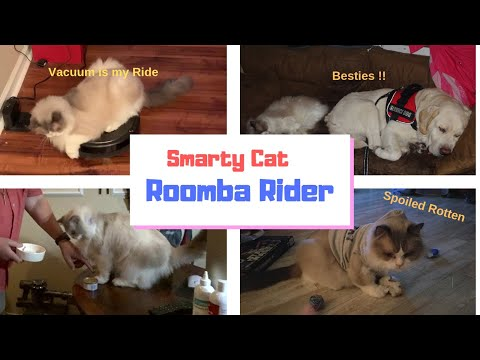 Amazing Ragdoll Cat Riding Roomba  / Funny Cat Video/ Amazing Cat Playing / Giant trained cat  WOW !