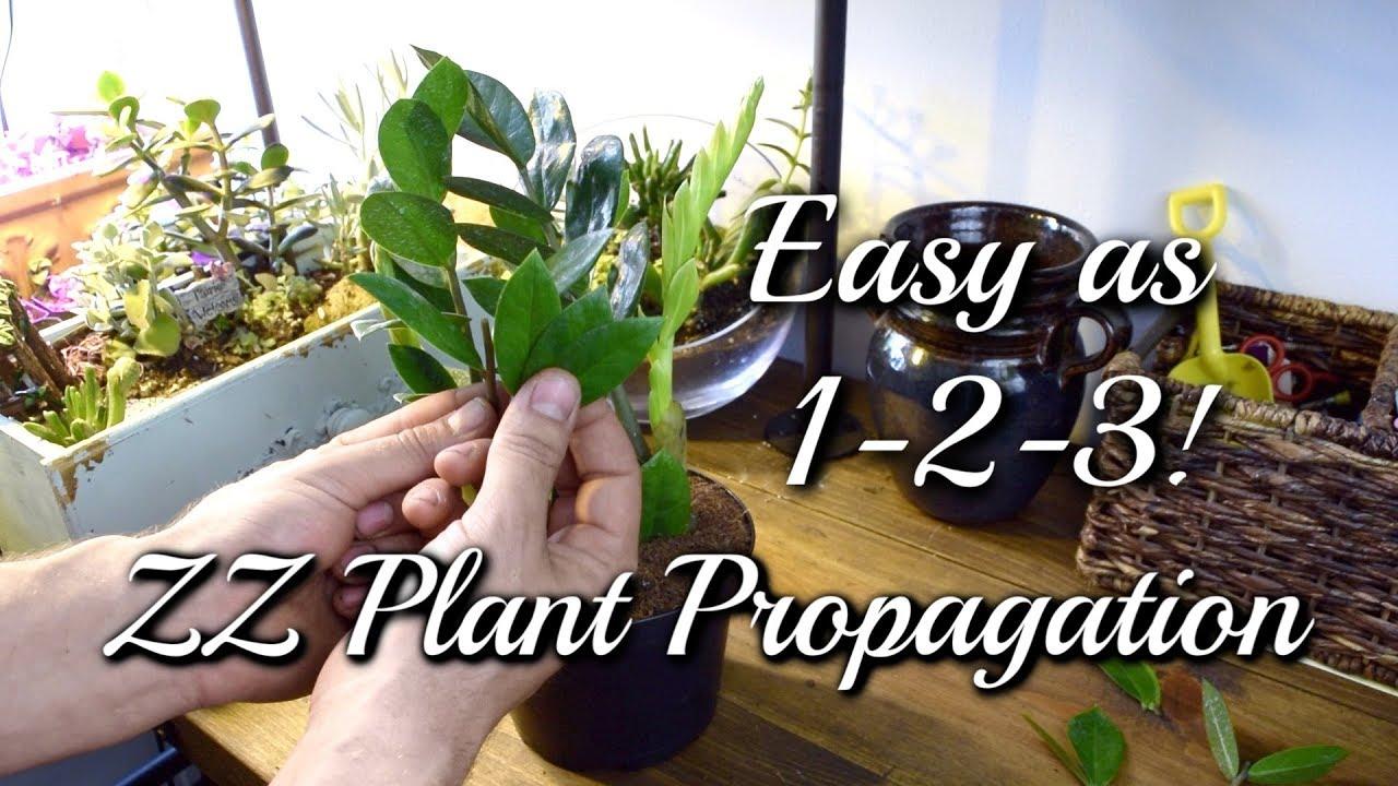 3 EASY Ways To Propagate Your ZZ Plant! - YouTube
