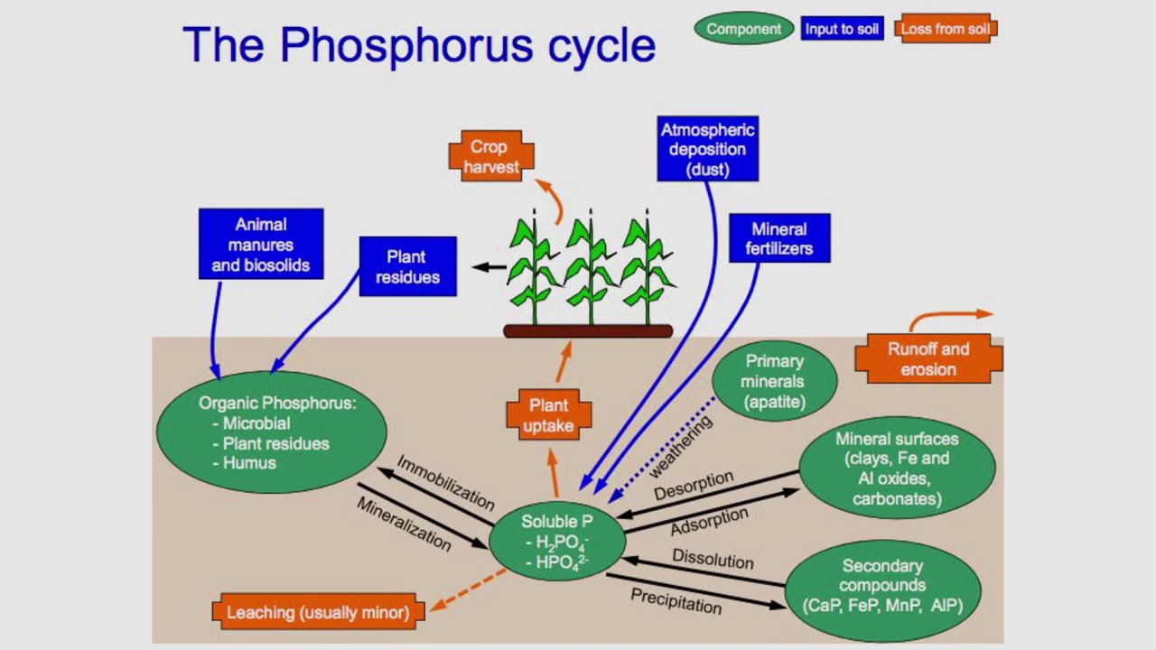 hight resolution of phosphorus cycle explained
