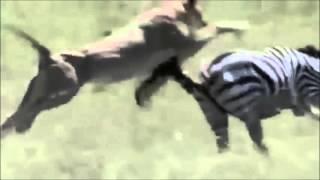【関連動画】 【ハイエナ流】キリンの内臓を喰い尽し腹の中で無邪気に遊...