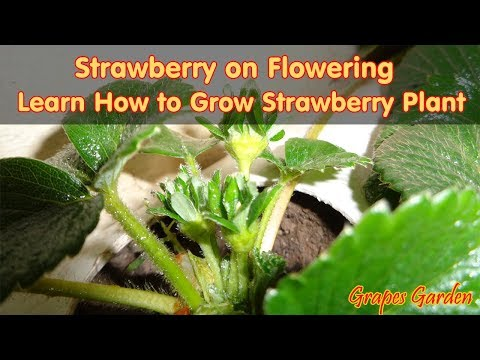 How to grow and harvest strawberry plants   Strawberry on Flowering (Urdu/Hindi)