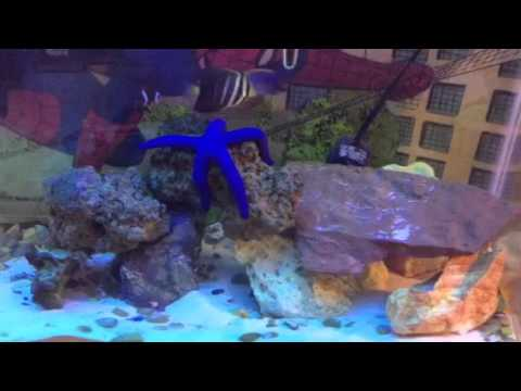 blue starfish with tangs