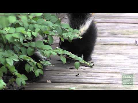 What to do if you encounter young skunks  Tips from a Wildlife Biologist