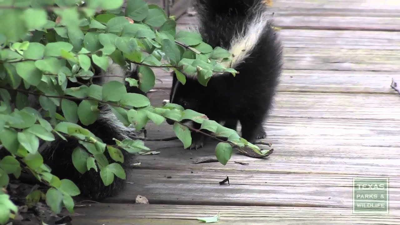 what to do if you encounter young skunks - tips from a wildlife biologist