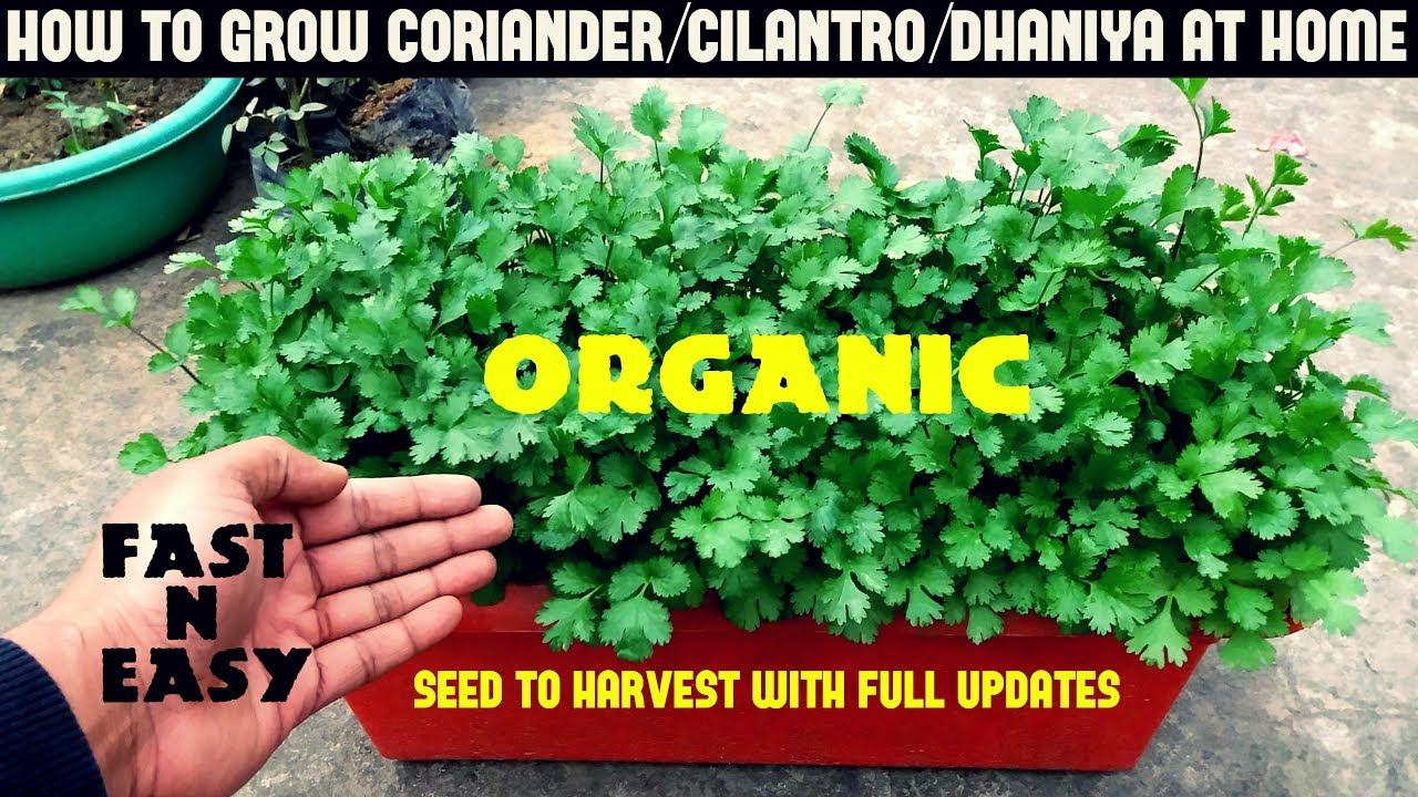 How To Grow Coriander Cilantro Dhaniya At Home Full Information Youtube
