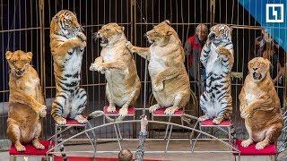 Толстые львы в цирке Владивостока