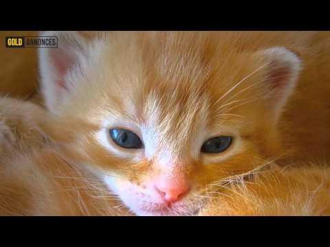 Annonce chat Suisse du Nord-Ouest Suisse - GoldAnnonces #animaux