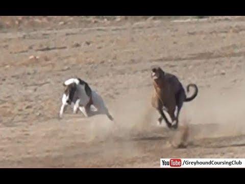 Tazi Dog Race Greyhound Racing In Pakistan 2018 Youtube