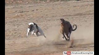 Tazi dog race   Greyhound racing in Pakistan 2018