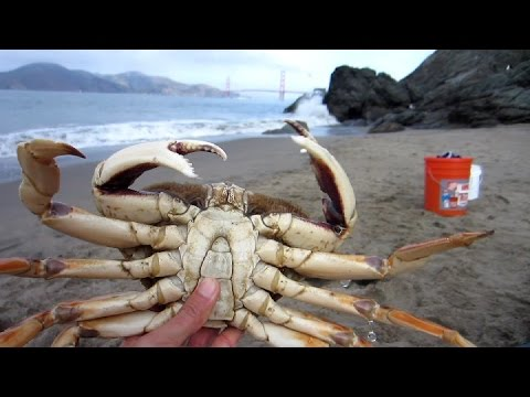 Two Huge Dungeness Crabs, Crabbing in San Francisco