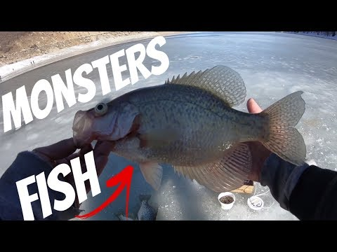 Pineview Reservoir Utah Fishing: Crappie And Yellow Perch Ice Fishing.