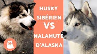 HUSKY VS MALAMUTE D'ALASKA  Différences entre Husky Sibérien et Malamute d'Alaska