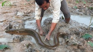 Amazing Man Catching Eel From Mud - Cambodia Traditional Eel Fishing