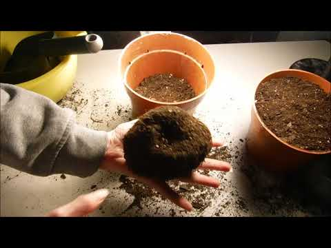 how to plant begonia bulbs, how to plant begonia tubers, how to wake begonia tubers up