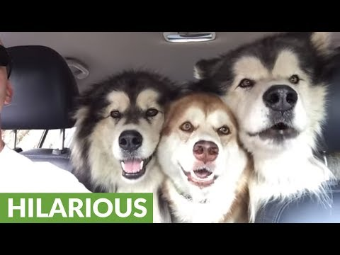 "Alaskan Malamutes Sing In ""Perfect"" Harmony During Car Ride!"