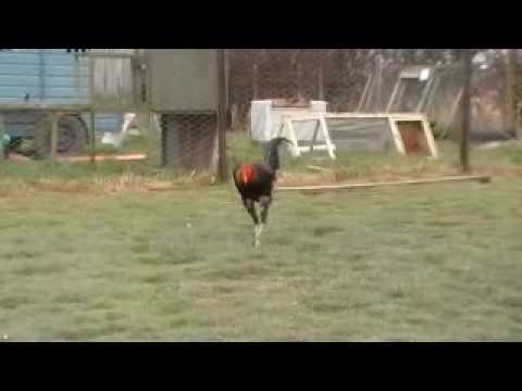 Popular Videos - Modern Game fowl