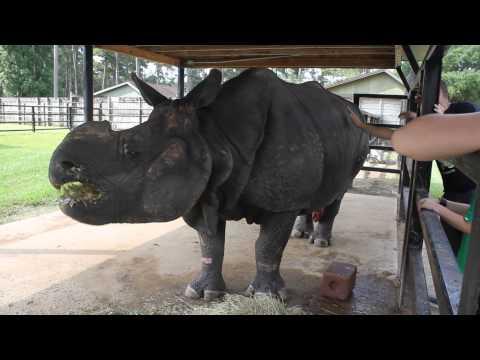 Patrick, the first Indian rhino (aka greater one-horned rhino) born in North America