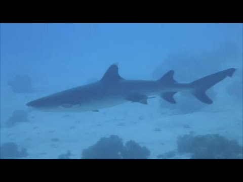 RED SEA SHARKS 2014 with Mostafa