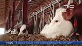 В условиях тюменской области проведена оценка зерна голозерных сортов овса различного эколого-географического происхождения по основным.
