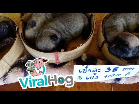 Pug Puppies in Baskets