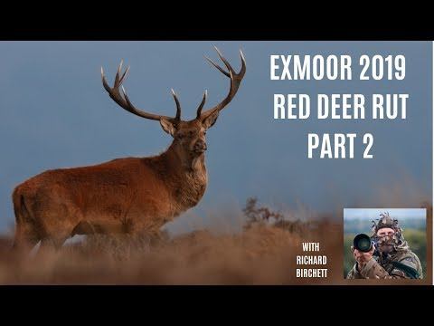 RED DEER RUT Exmoor 2019 Part 2 | Close Encounters With Big Stags, Wildlife & Nature Photography
