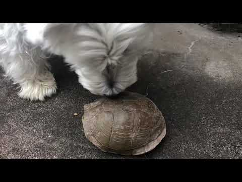 WEST HIGHLAND TERRIER finds a Turtle.