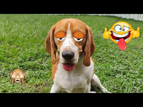 Sleepy Cute Beagle Gogo 🐶 Compilation Part 2