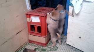 北海道犬舎、安代畠山にて牡が2頭、牝が2頭産まれてます.
