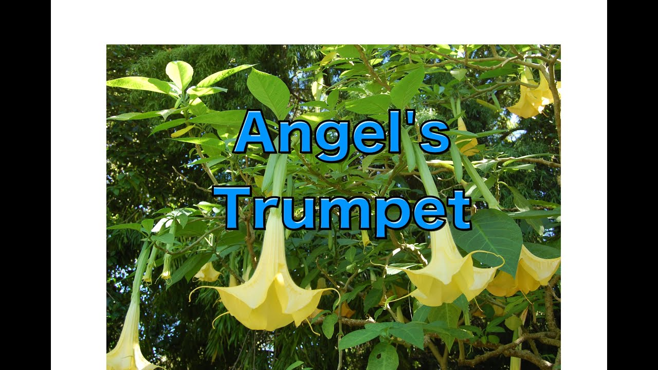 Growing Brugmansia: Learn Angel Trumpet Tree Care Tips [HOW TO]