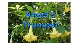 Growing Brugmansia from Seed - Angel
