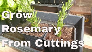 How To Grow Rosemary From Cuttings, Two Ways, BOTH Easy!