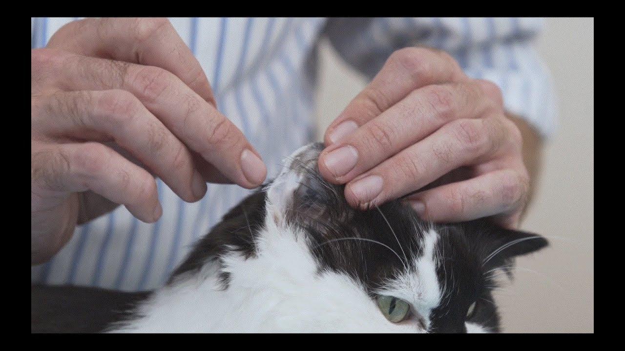 blood glucose in a cat - Diabetic cat