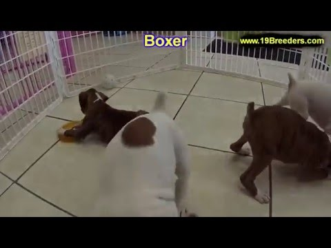 Boxer, Puppies, Dogs, For Sale, In Raleigh, North Carolina, NC, Durham, Greenville, Wilson