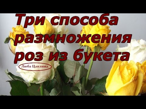 три способа размножения роз из букета