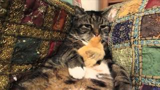 Cat Cradles Chick on Belly!