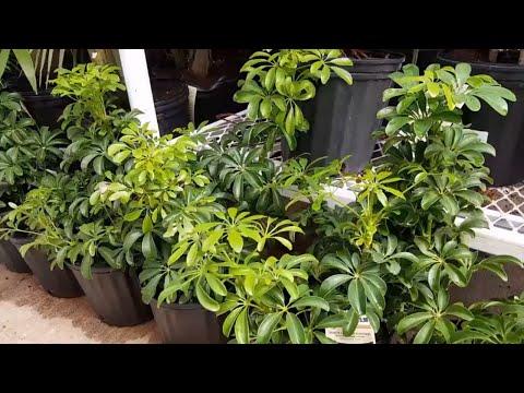 How To Take Care of the Schefflera Arboricola | Donna Joshi