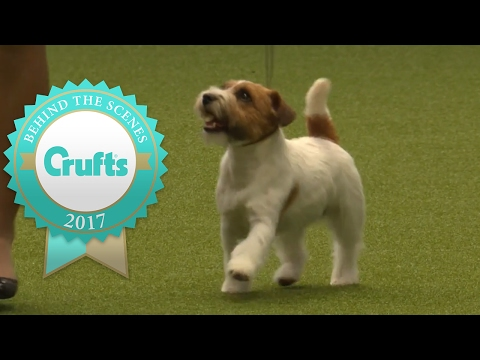 Behind The Scenes with the Jack Russell Terrier at Crufts 2017
