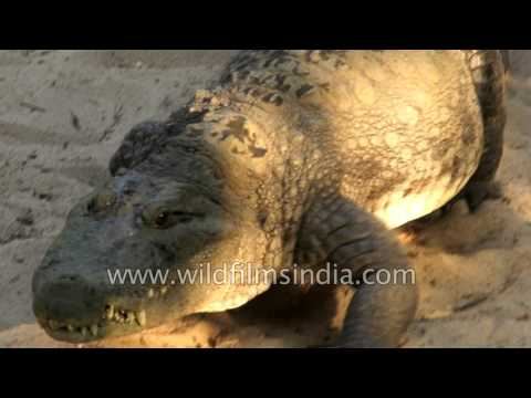 Numerous and various species of crocodiles in Chennai