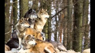 The Wolf _ Jon Henrik Fjällgren _ Read info !